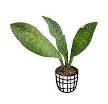 Load image into Gallery viewer, Dracaena Masoniana (Whalefin Snake Plant)
