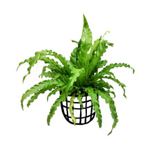 Load image into Gallery viewer, Asplenium 'Victoria'