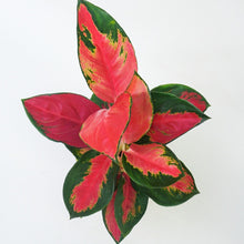 Load image into Gallery viewer, Aglaonema suksom jaipong india buy from soiled