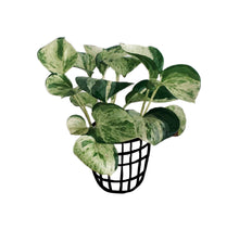 Load image into Gallery viewer, Money Plant (Combo)