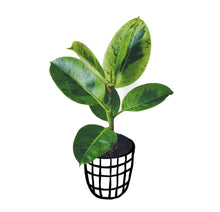 Load image into Gallery viewer, Ficus Elastica 'Shivereana'