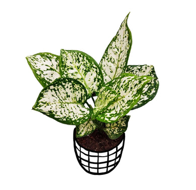Aglaonema 'Snow White'