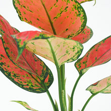 Load image into Gallery viewer, Aglaonema 'Red Zircon'