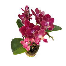 Load image into Gallery viewer, Phalaenopsis Orchid Red