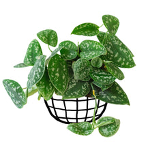 Load image into Gallery viewer, Scindapsus Pictus (Satin Pothos)