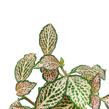 Load image into Gallery viewer, Fittonia 'Pink Speckle'