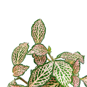 Fittonia 'Pink Speckle'