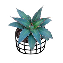 Load image into Gallery viewer, Agave Xylonacantha Buy India
