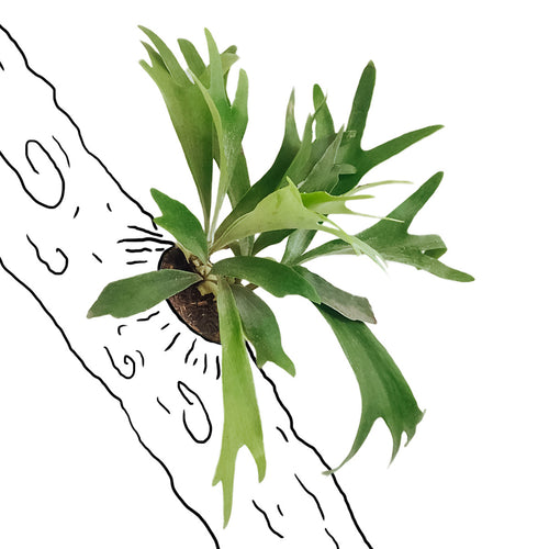 Staghorn Fern (Large)