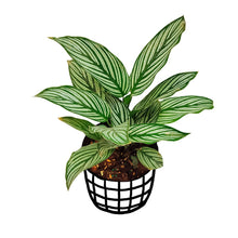 Load image into Gallery viewer, Calathea Vittata