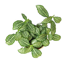 Load image into Gallery viewer, Fittonia 'White Tiger'
