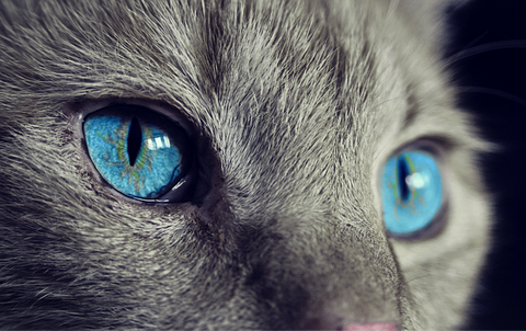 a gray cat with blue eyes