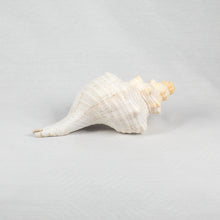 Load image into Gallery viewer, CONCH SHELLS