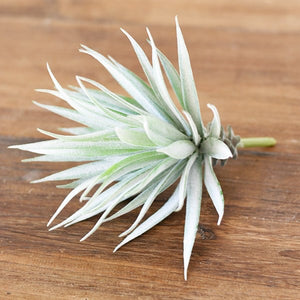 Faux Agave Stem - Shackteau Interiors