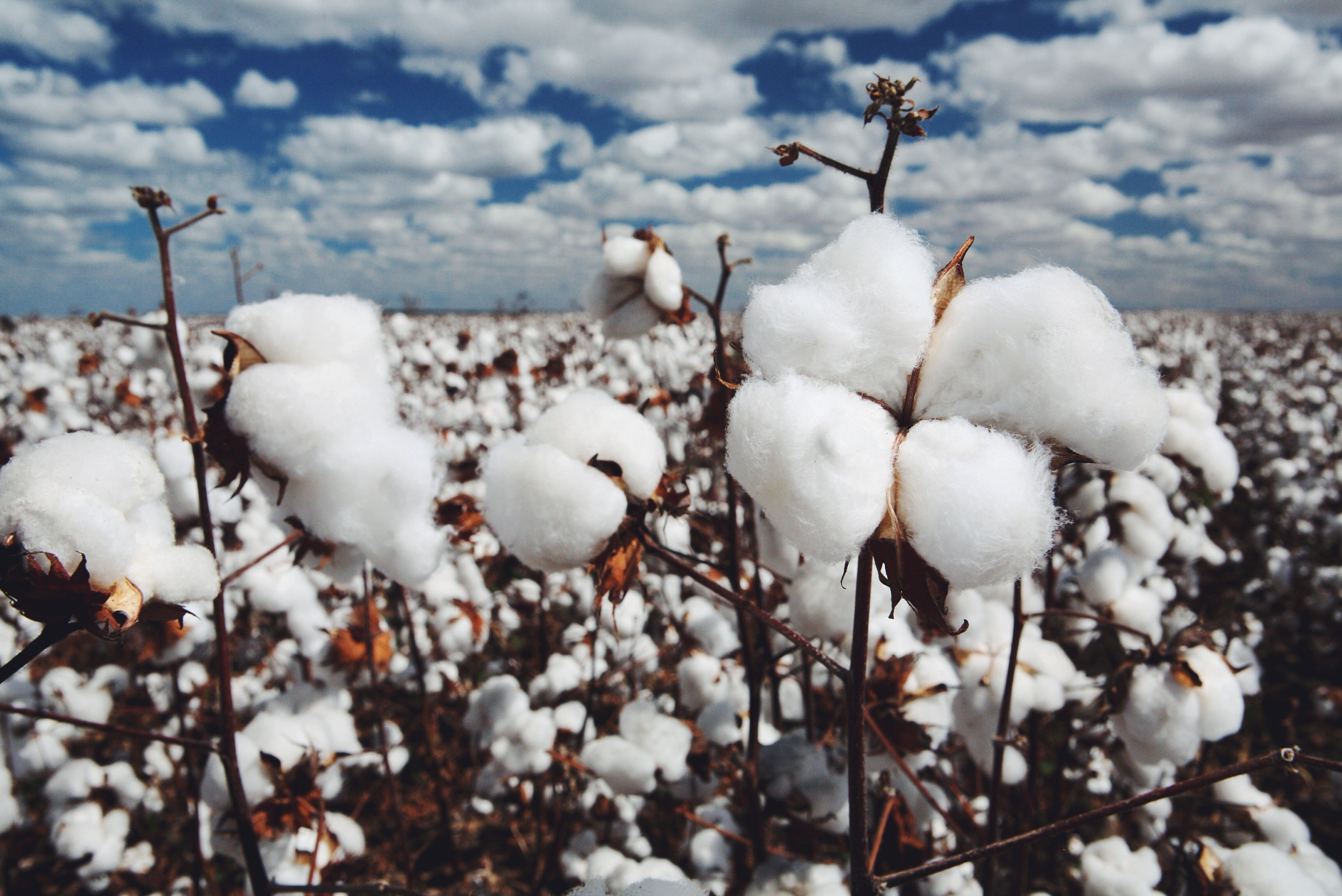 cotton field in contrast with blue sky