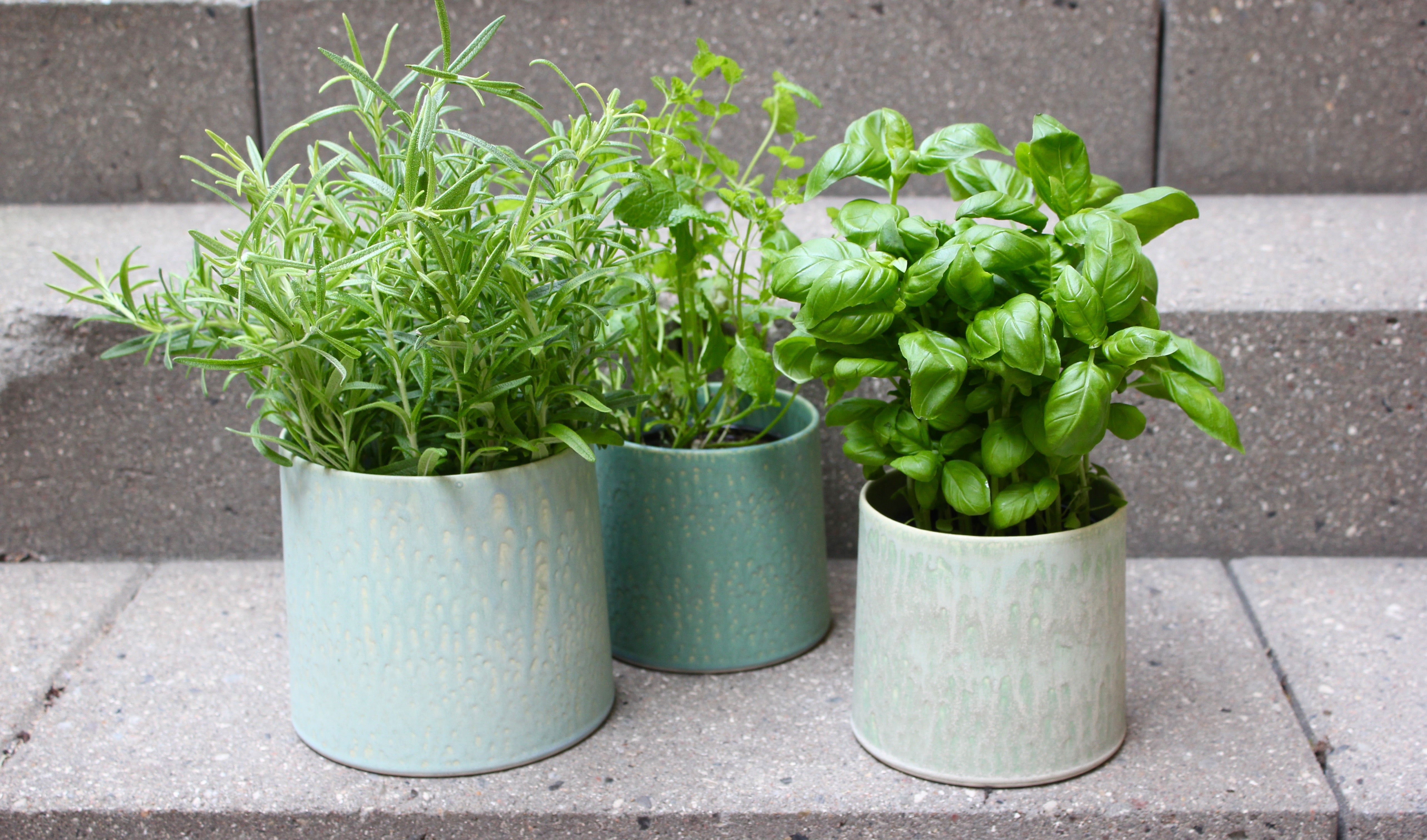 Care of indoor herbs. Tips for caring for indoor herbs such as basil, rosemary and mint.