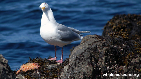 Gull Seastar Background