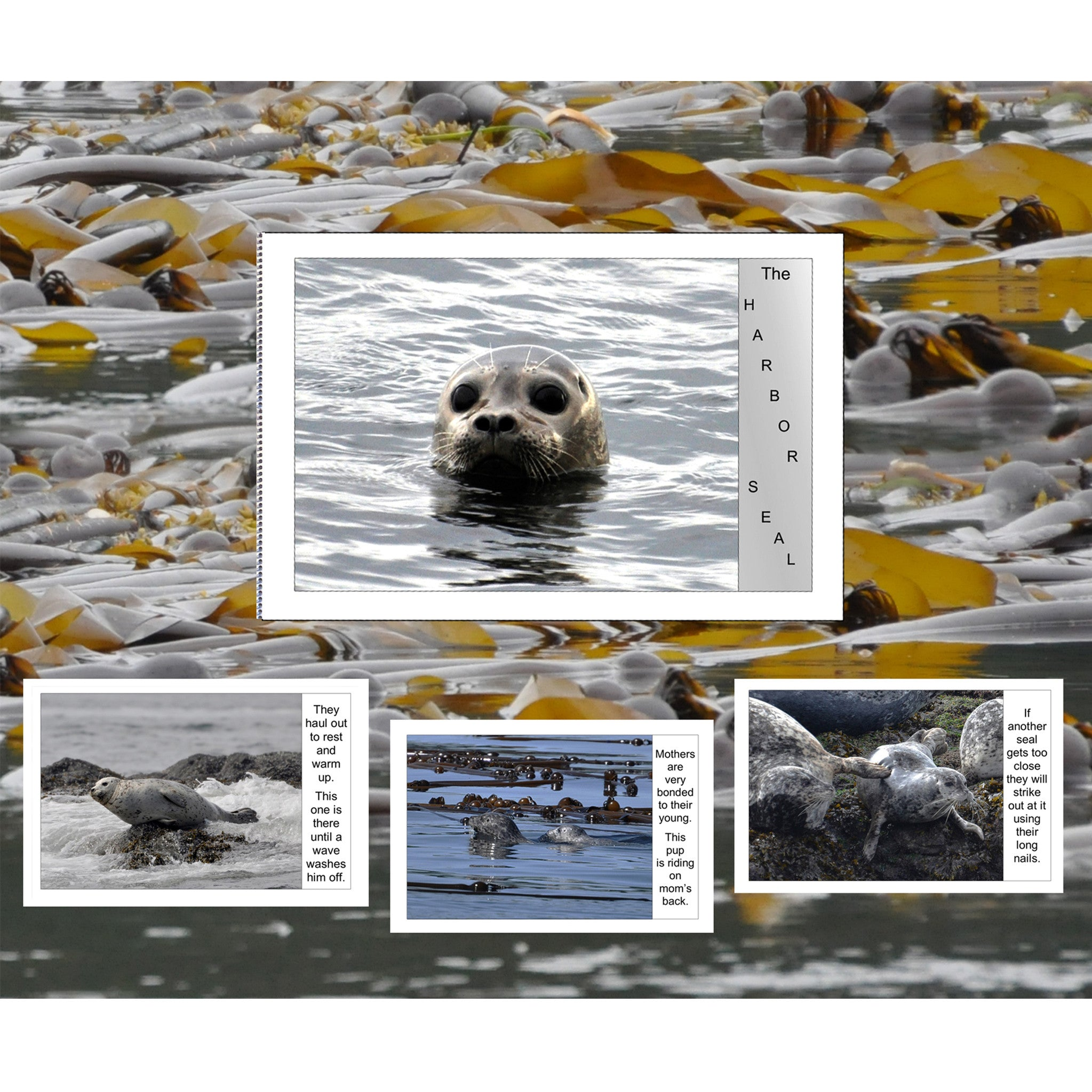 Harbor Seal Little Book