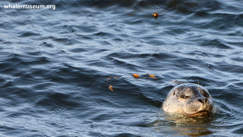 Harbor Seal Background