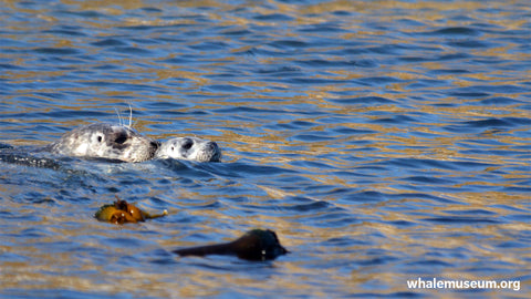 Harbor Seal with Pup Background