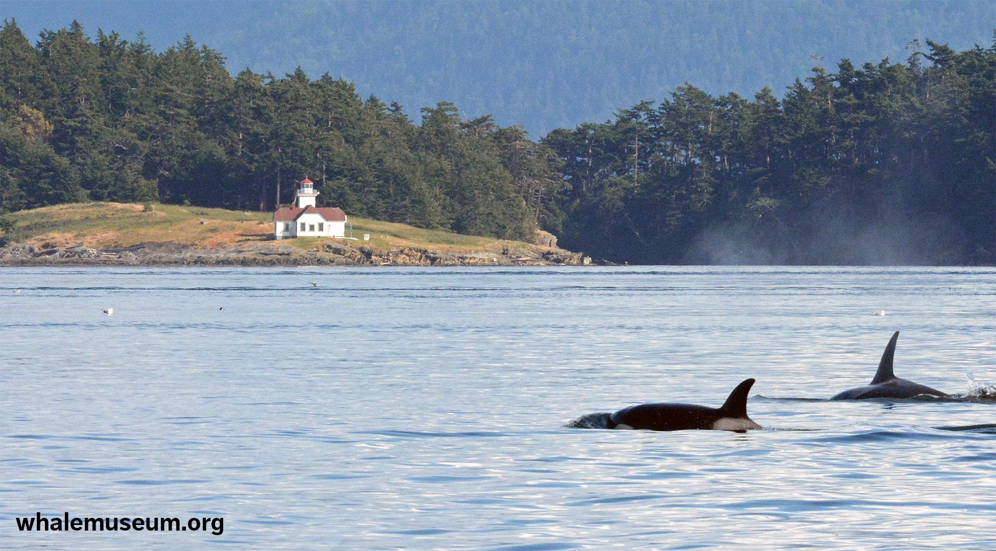 Orcas Off Lighthouse Background