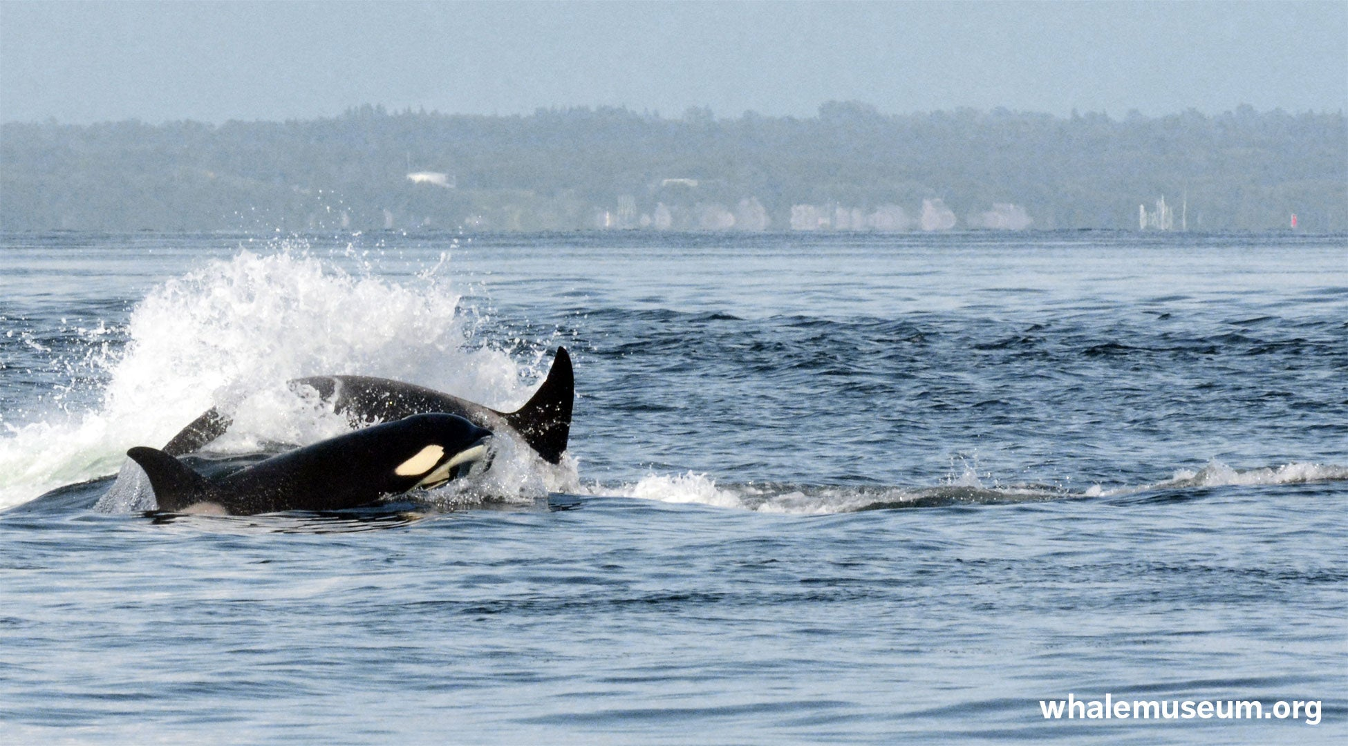 Orcas Traveling Background