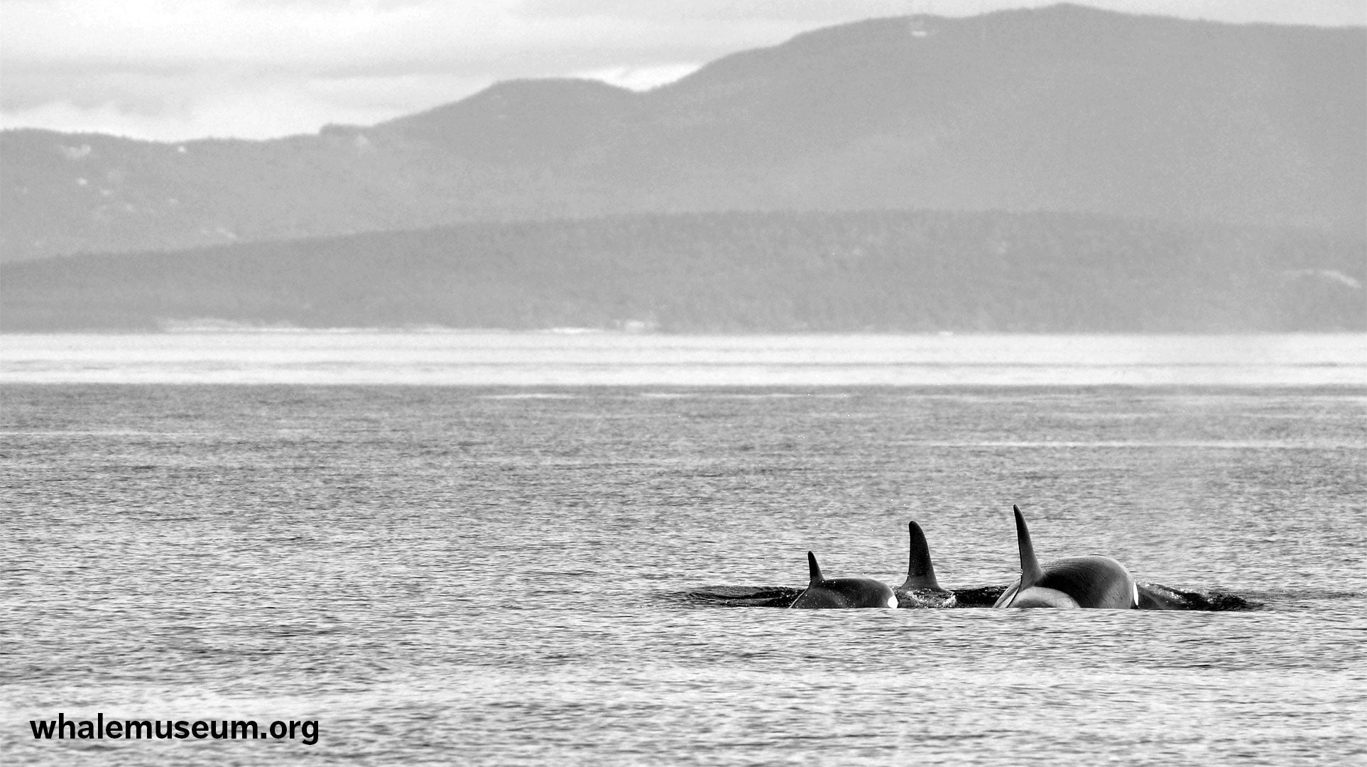 Orcas Travelling Background