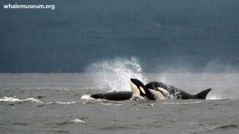 Orcas Snuggling Background