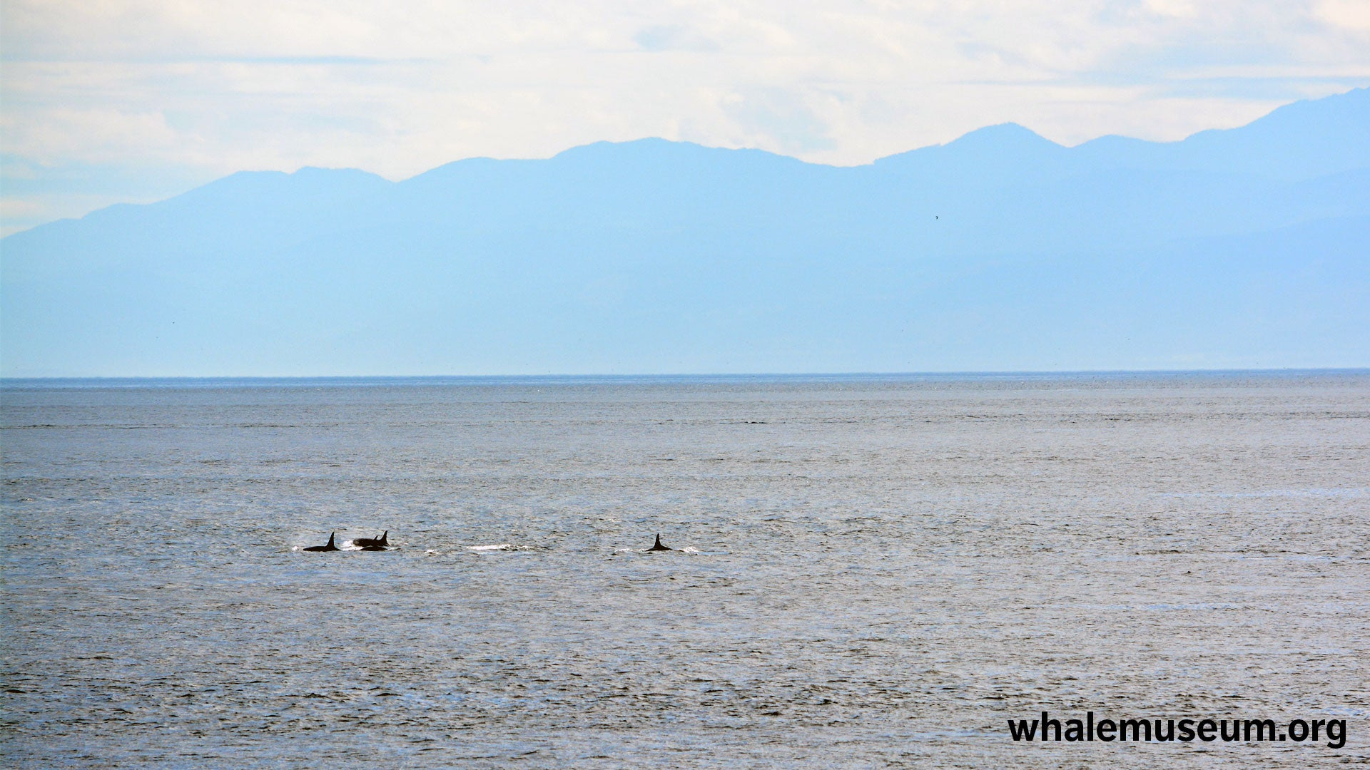 Olympic Orcas Background