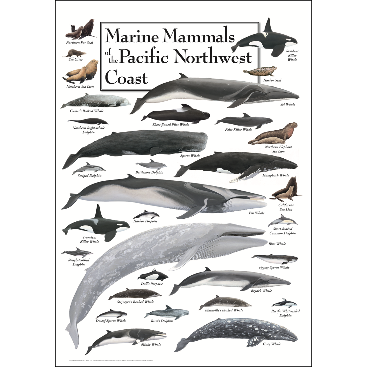 Marine Mammals of the Pacific Northwest Poster #10