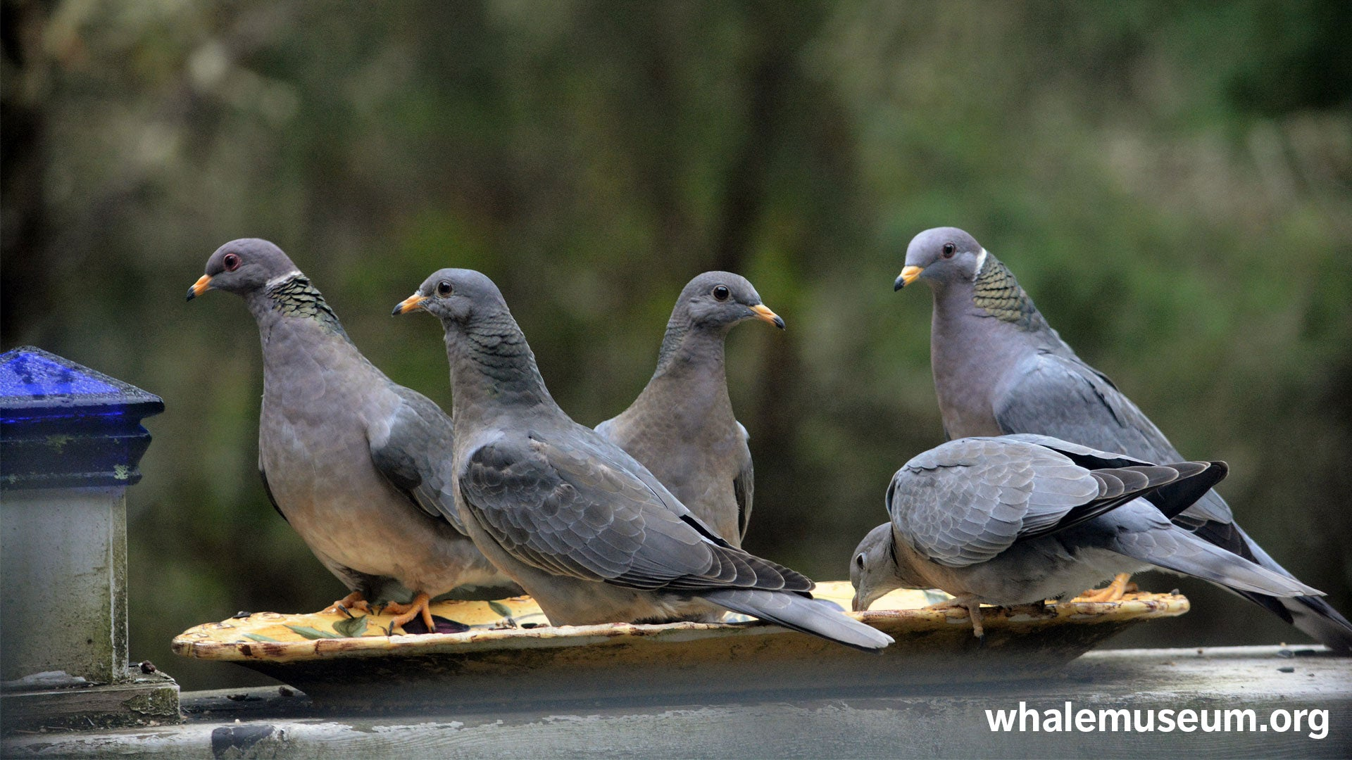 Band-tailed Pigeons Background