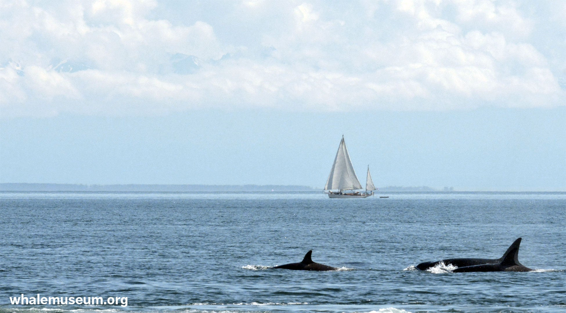 Sailing with Orcas Background