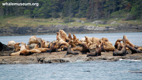 Steller Sea Lions Background