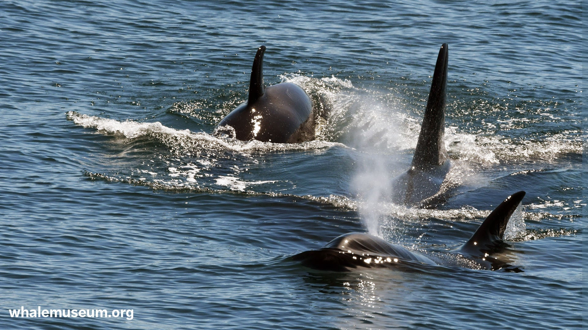 Three Orcas Background