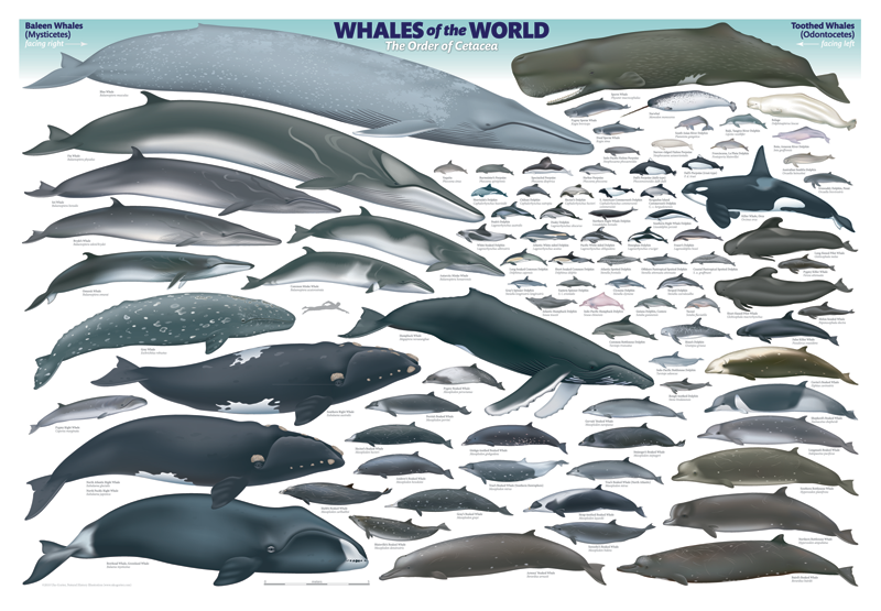 Whales of the World Poster #12