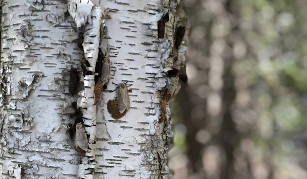 Invasive Species  - Gypsy Moths