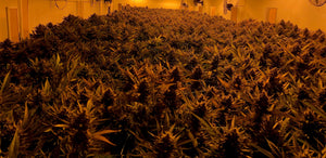 Lemon Haze, White Widow, Erdbeerli oder doch Power Plant?