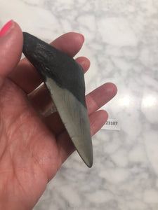 Megalodon Shark Tooth, North Carolina Number 123107