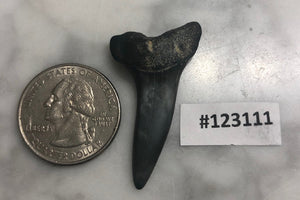 Mako Shark Tooth, North Carolina Number 123111