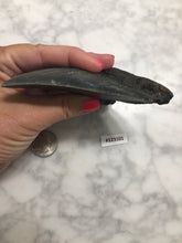 Load image into Gallery viewer, Megalodon Shark Tooth, North Carolina Number 123101