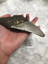 Load image into Gallery viewer, Megalodon Shark Tooth, North Carolina Number 123102
