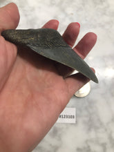 Load image into Gallery viewer, Megalodon Shark Tooth, North Carolina Number 123103