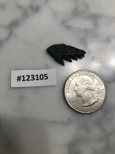 Cow Shark Tooth, South Carolina Number 123105