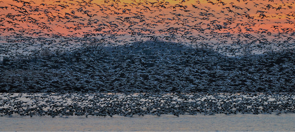 Uplifting snow geese during migration; the rest of our online store.