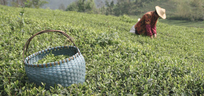 Know Your Rare Tea - Five Loose Leaf Tea Terms Explained