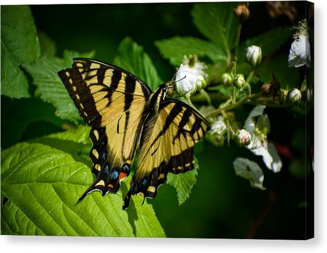 Butterfly - Canvas Print