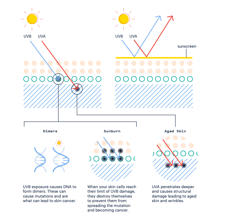 Diagram showing how sunscreens work on the skin