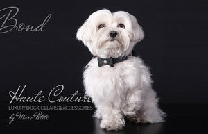Designer Dog Collar for Maltese
