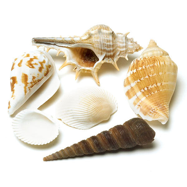 Decorative Natural Shells (Pack of 1)