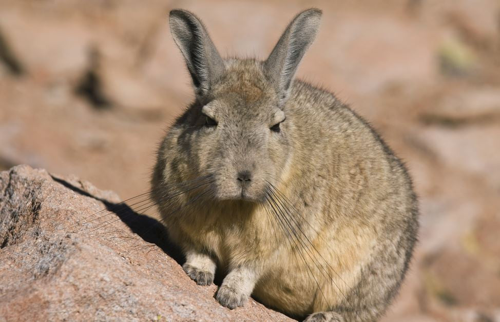 Mexican Volcano Rabbit facing extinction